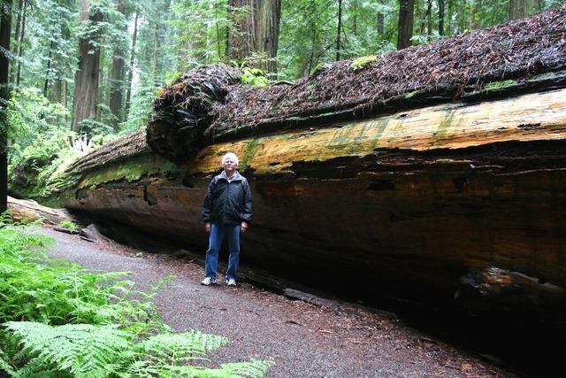 Sequoia sempervirens tombé au sol