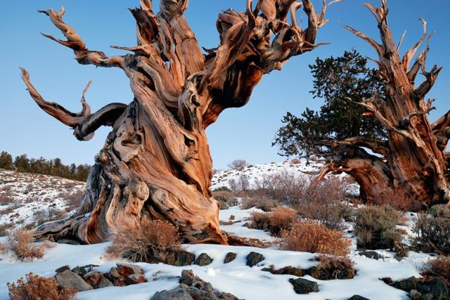 Pins de Bristlecone millénaires, en Californie
