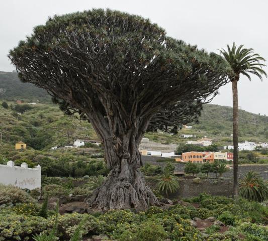 Le dragonnier millénaire à Tenerife
