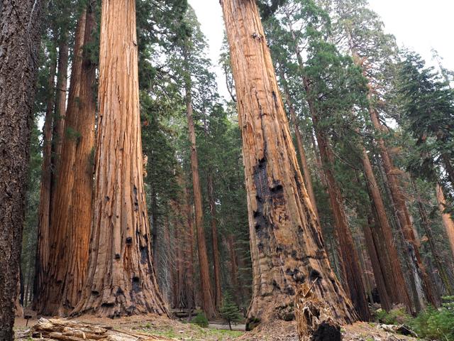 Sequoias géants en Californie