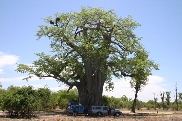 Baobab en Afrique