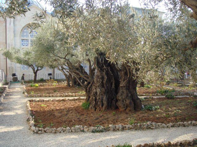 Olivier à Jérusalem
