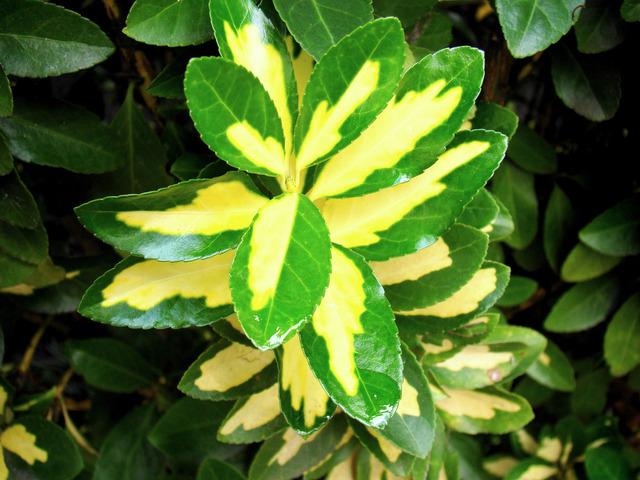 Fusain du Japon, Euonymus japonicus : plantation, culture, variétés