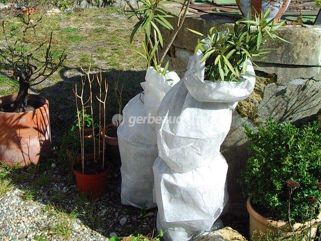 Protection Hivernale Du Laurier Rose