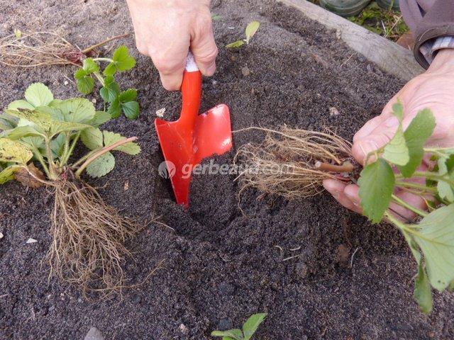Planter à racines nues