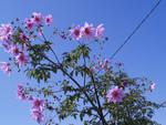 Dahlia arborescent, Dahlia imperialis