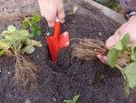 Plantation et culture des fraisiers