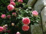 C'est quoi un rosier remontant ?