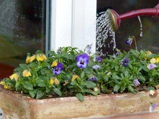 Arrosage en pluie d'une jardinière de pensées