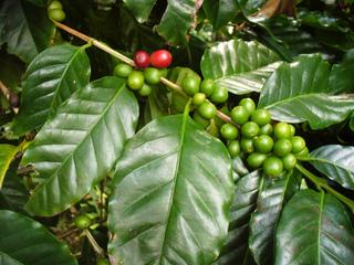 Caféier - Coffea arabica