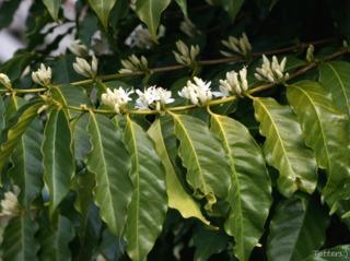 Floraison du caféier (Coffea arabica)