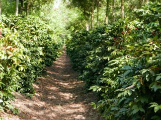 Plantation de caféiers