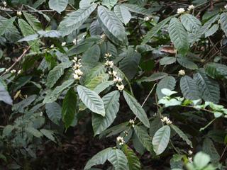 Caféier - Coffea robusta
