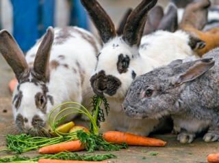 Lapins consommant des végétaux frais