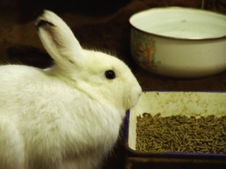 Lapins - Alimentation en granulés