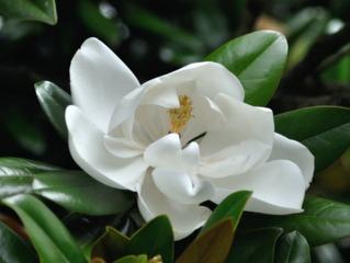 Magnolia persistant, Magnolia grandiflora : culture et entretien