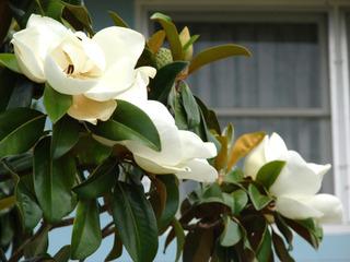 Magnolia grandiflora, magnolia persistant