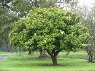 Magnolia grandiflora compact