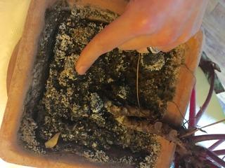 Motte sèche : la plante a besoin d'eau