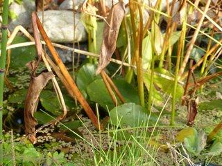 Plantes de bassin en hiver
