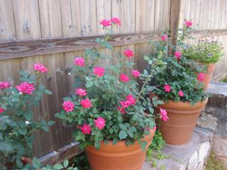 Sélection de variétés de rosiers à cultiver en pot