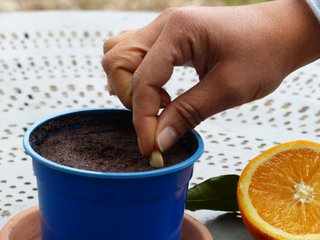 Semis d'un pépin d'orange