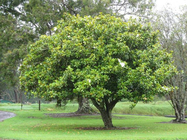 Magnolia grandiflora rose - Arbre a feuille persistant ...