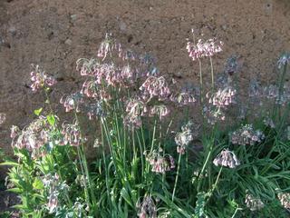Nectaroscordum siculum au pied d'un mur