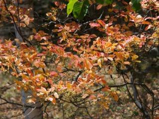 Enkianthus campanulatus - feuillage d'automne