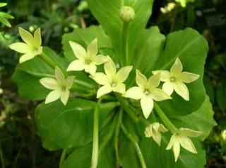 Fleurs de Brighamia insignis