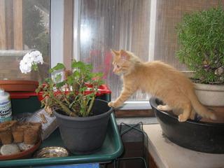 Chat intéressé par un géranium