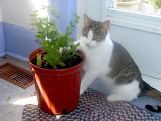 Chat et népéta en pot