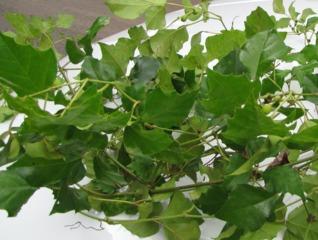 Cissus rhombifolia : une liane vigoureuse