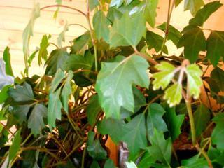 Cissus rhombifolia, vigne d'appartement