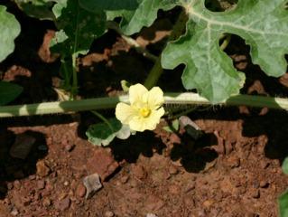 Fleur de gigérine