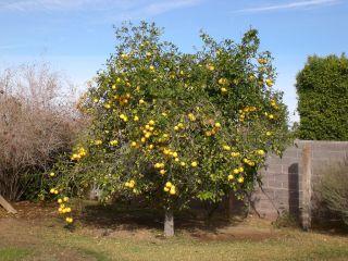Citrus paradisi, pomelo en pleine terre
