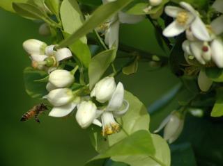 Fleurs de Citrus paradisi