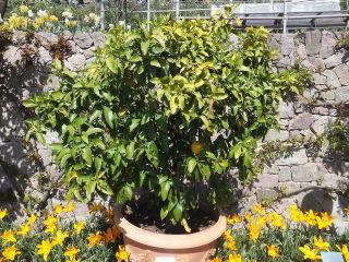 Pamplemoussier, pomelo, Citrus paradisi : culture, entretien
