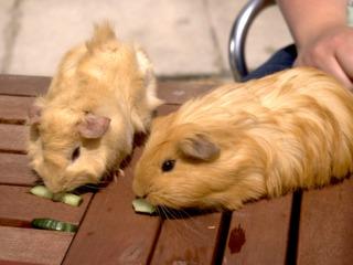 Cochons d'Inde mangeant du concombre