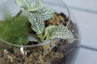 Terrarium de mini-plantes (Fittonia)