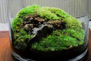 Mousses en terrarium