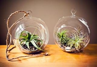 Tillandsias en terrarium
