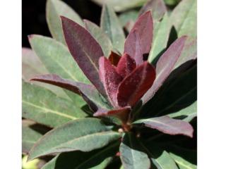 Euphorbia Hybride 'Efanthia'