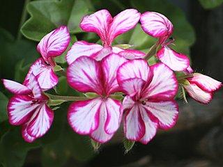 Géranium lierre : du semis à l'hivernage