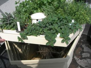 Plantes aromatiques cultivées en hydroponie