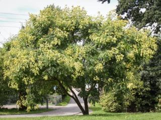 Savonnier en août, avec ses fruits