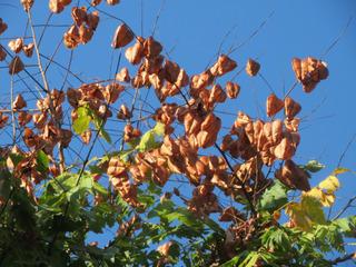 Koelreuteria paniculata en septembre