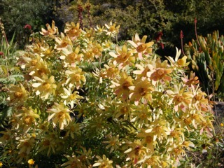 Leucadendron jaune