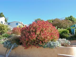 Leucadendron rouge
