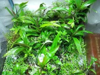 Mini-bassin avec des plantes tropicales de marécage